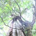 紀元杉の写真_152103