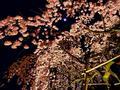 平野神社の写真_194344