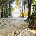備瀬のフクギ並木の写真_400521