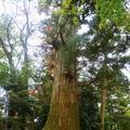 たこ杉の写真_405228