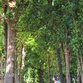 備瀬のフクギ並木の写真_415240
