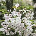 平野神社の写真_425768