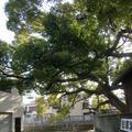 稗島の樟の写真_141971