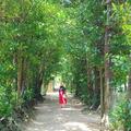 備瀬のフクギ並木の写真_127781