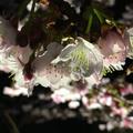熱海桜の写真_168501