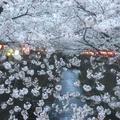 目黒川の桜並木の写真_227180