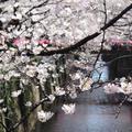 目黒川の写真_307085