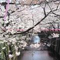 目黒川の写真_309947