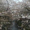 目黒川の写真_324518