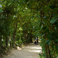 備瀬のフクギ並木の写真_567222
