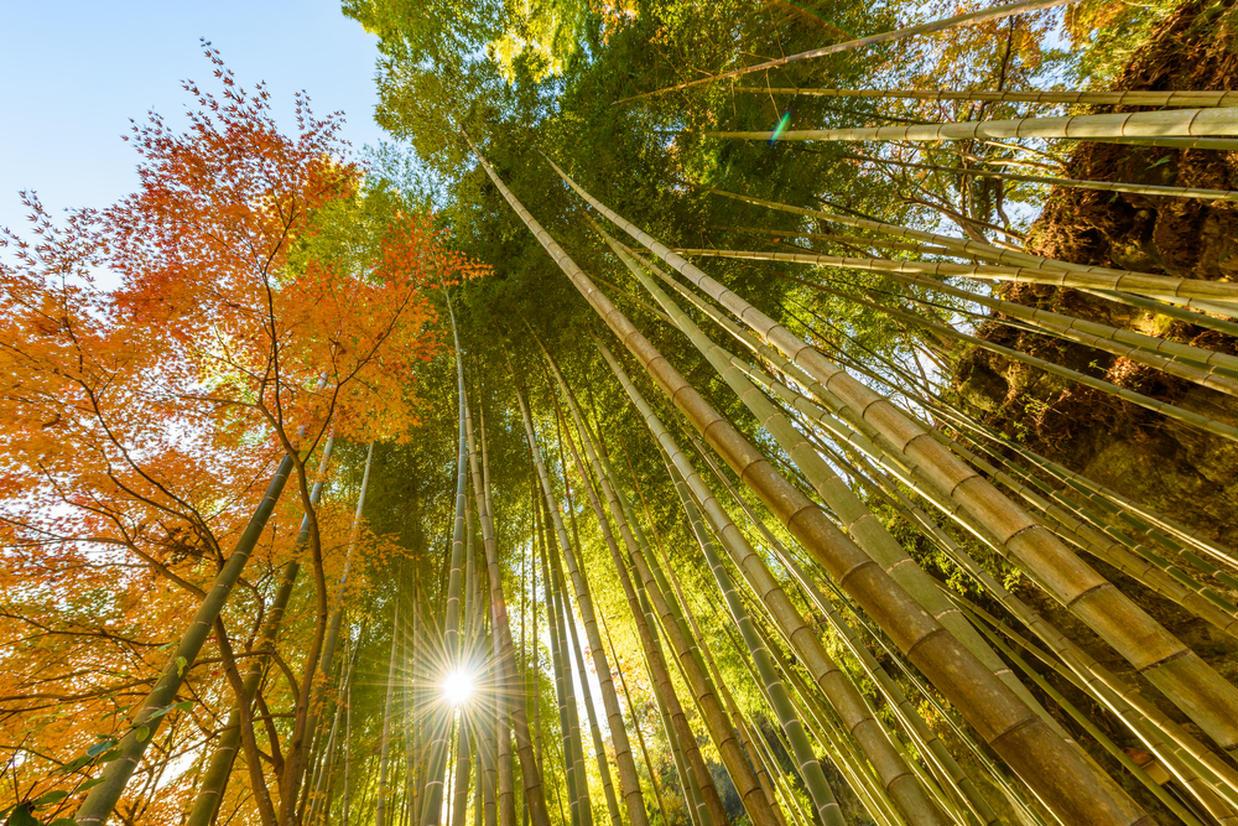 鎌倉の竹林と紅葉
