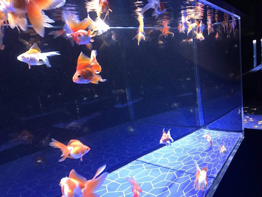 江戸リウム 金魚展示