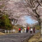静岡「つま恋」約1,600本の美しい桜が見頃に!限定メニュー・スイーツも期間限定で販売