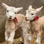 5年ぶりに生まれた可愛すぎる7匹の子羊たち!「堺・緑のミュージアム ハーベストの丘」にて展示中