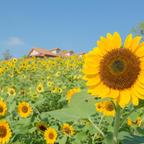 ひまわり8万本が8月に開花予定!「堺・緑のミュージアム ハーベストの丘」にてイベント開催