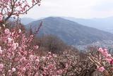 宝登山梅百花園 ロウバイと梅
