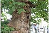正覚寺の雷樹