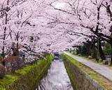 京都 大阪 満開の桜を楽しもう!