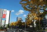 桜通は銀杏の名所