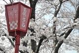 桜を見るなら「墨俣桜まつり」へ