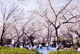 靱公園 桜