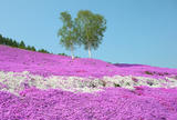 東藻琴芝桜公園
