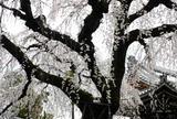 圓明寺の桜