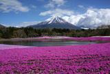 富士芝桜まつり(本栖湖リゾート)