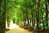 📸 備瀬のフクギ並木