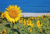 鳴り石の浜 ひまわり畑