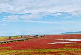 能取湖のサンゴ草群落