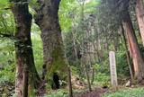 熊野の大トチ