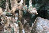 古見のサキシマスオウノキ群落(西表島)