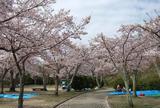 【花見スポット】摂津峡公園