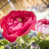 江戸建築に彩りを添える「上野東照宮 冬ぼたん」開催!わらぼっちの下で楚々と咲く可憐な姿を愛でよう