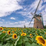 約15,000本のひまわりが咲き誇るイベント開催!オランダ風車と共にインスタ映えする写真が撮れる