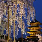 京都の夜桜ライトアップ満喫プラン