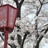 墨俣桜まつり