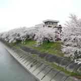 墨俣桜堤防