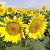 野良舞夏ひまわり倶楽部 平石農場の菜の花