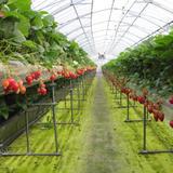 ストロベリーフィールズ 筑紫野いちご農園