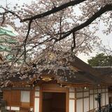 ✨名古屋の美しい桜