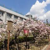 大阪造幣局桜の通り抜けの春
