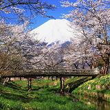 新名庄川沿いの桜並木