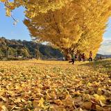 中川村渡場のいちょう並木