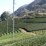 丸小野地区茶園