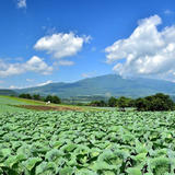 嬬恋村広大なキャベツ畑
