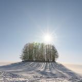 マイルドセブンの木