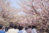 大阪 造幣局 桜の通り抜け