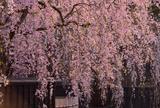 贅沢温泉旅館で春を満喫1泊旅行@角館